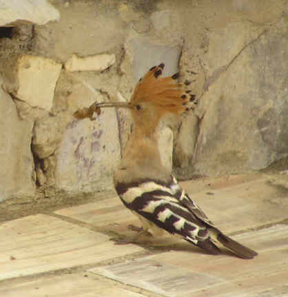 Hoopoe feeding young