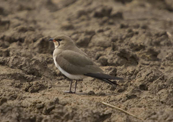 Collared Pratincole Algarve Portugal.