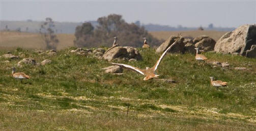 Great Bustards Portugal