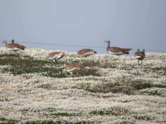 great bustards portugal.