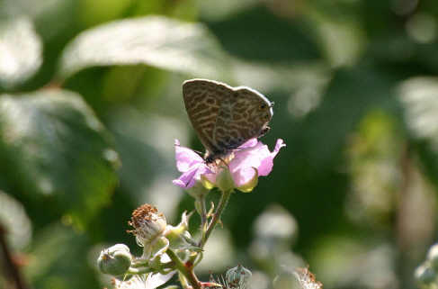 Lang's Short tailed Blue Butterfly