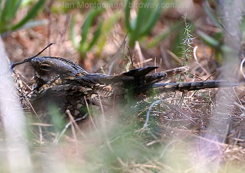 Rednecked Nightjar