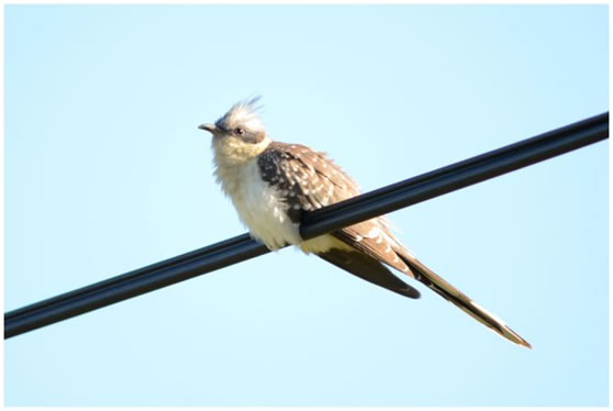 Great Spotted Cuckoo Casa Rosa