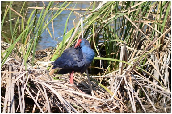 Purple Gallinule Casa Rosa